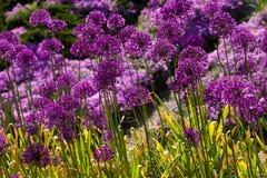 Fleurs violettes abstraites sur la zone Photos libres de droits