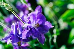Fleurs violettes d'alto dans le jardin image stock