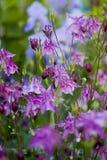 Fleurs violettes d'ancolie image stock