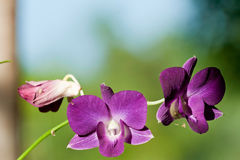 Fleurs violettes d'orchidée Photographie stock libre de droits
