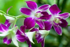 Fleurs violettes d'orchidée Photos stock