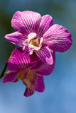 Fleurs violettes d'orchidée Image stock