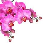 Fleurs violettes d'orchidée, d'isolement Photos stock