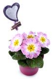Fleurs violettes dans l'insigne rouge de bac et de coeur d'isolement Photographie stock libre de droits