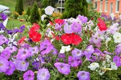 Fleurs violettes dans le parterre images libres de droits