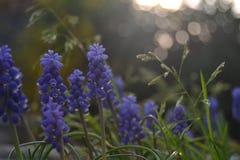 Fleurs violettes dans mon jardin photos stock