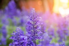 Fleurs violettes de floraison de lavande Image stock
