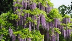 Fleurs violettes de floraison merveilleuses de glycine