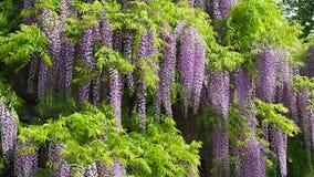 Fleurs violettes de floraison merveilleuses de glycine clips vidéos