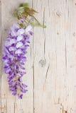 Fleurs violettes de glycine Images libres de droits