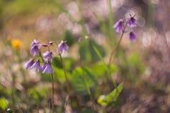 Fleurs violettes de montagne, côté ensoleillé incroyable Image stock