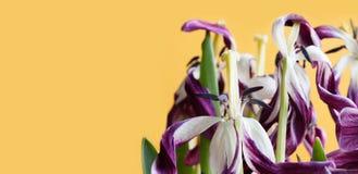 Fleurs violettes de pétale de tulipe défraîchies par photo en gros plan La macro vue a entièrement ouvert des graines d'étamine d Photographie stock libre de droits
