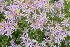 Fleurs violettes de sedifolius Nanus d'aster photos libres de droits