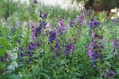 Fleurs violettes en Thaïlande Images stock
