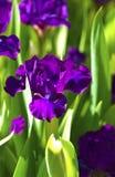 Fleurs violettes foncées d'iris Photos stock