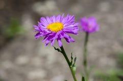 Fleurs violettes pourpres d'alpinus d'aster en fleur, usine fleurissante de montagne d'aster alpin photos stock