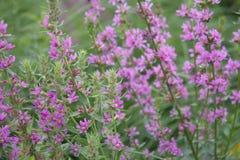 Fleurs violettes sur le champ Photographie stock