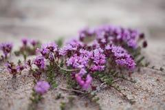 Fleurs violettes sur le sable Photos stock