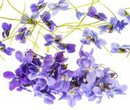 Fleurs violettes sur un fond blanc Images stock