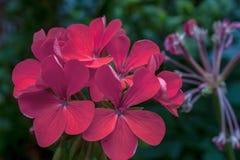 Fleurs zonales rouges de géranium dans un jardin photographie stock