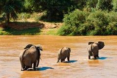 fleuve de famille d'éléphant de croisement Photo libre de droits