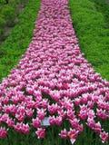 Fleuve de tulipe Image libre de droits
