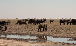 Fleuve horizontal de chobe de croisement de troupeau d'éléphants photo stock