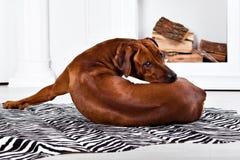 Flexible Rhodesian Ridgeback dog turning round showing ridge. Flexible Rhodesian Ridgeback dog turning round with interest showing its ridge Stock Photo