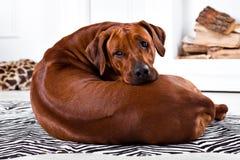 Flexible Rhodesian Ridgeback dog turning round showing ridge Stock Photos