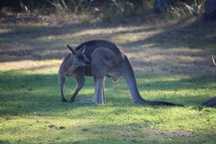 Flexing Grey Kangaroo. Large grey kangaroo flexing its should muscles for the camera Royalty Free Stock Images