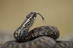 Flick da lingüeta da serpente Imagens de Stock Royalty Free