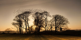Starlings Royalty Free Stock Photo