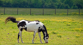 Flick of a Tail. A photograph of a black and white paint horse grazing in a Tennessee field of buttercups with a flicking tail Stock Photography