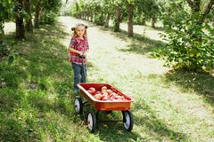Flicka med Apple i den Apple fruktträdgården Royaltyfria Foton
