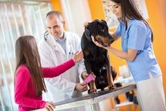 Flicka med hennes älsklings- stora gjorda hund som förbinder hans ben i veterinär- Fotografering för Bildbyråer