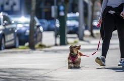 Flicka som går den lilla lurviga mer terier hunden på stadsgatan arkivfoto
