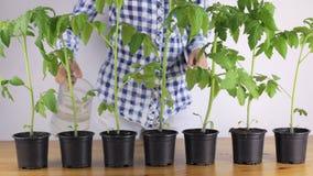 Flicka som hemma bevattnar tomatplantor lager videofilmer