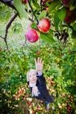 Flicka som ner för en förgrena sig med äpplen Royaltyfri Fotografi