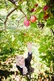 Flicka som ner för en förgrena sig med äpplen Arkivfoto