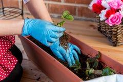 Flicka som planterar jordgubben i blomkruka Royaltyfri Bild