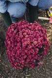 Flicka som planterar krysantemum royaltyfri bild