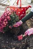 Flicka som planterar krysantemum royaltyfria foton