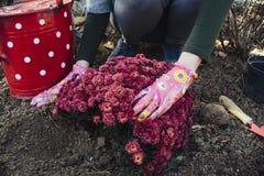 Flicka som planterar krysantemum arkivbild