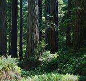 Flicka som ställa i skuggan av den jätte- redwoodträdskogen royaltyfri bild