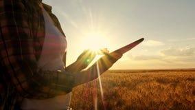 Flickabonde i plädskjorta i vetefält på solnedgångbakgrund Flickan använder en minnestavla, plan för att skörda cirkuläret stock video
