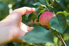 Flickahanden plockar mogna Apple från ett träd Begreppet av nya frukter och gåvor av naturen Fotografering för Bildbyråer