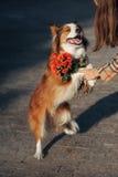 Flickan ger hunden en bukett av blommor Royaltyfria Bilder