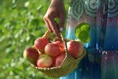 Flickan i blåttklänning med prydnaden rymmer en korg av äpplen fotografering för bildbyråer