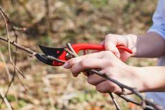 Flickan klipper filialer med pruners på ett äppleträd kneg royaltyfri fotografi