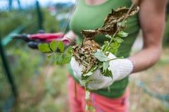 Flickan klipper växterna med en pruner fotografering för bildbyråer